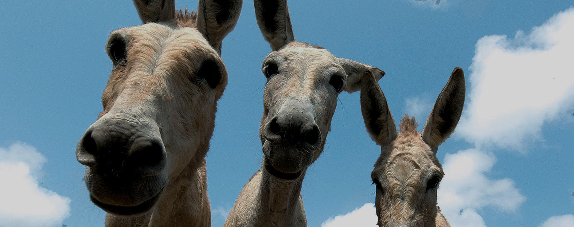 Donkey Performance ezels
